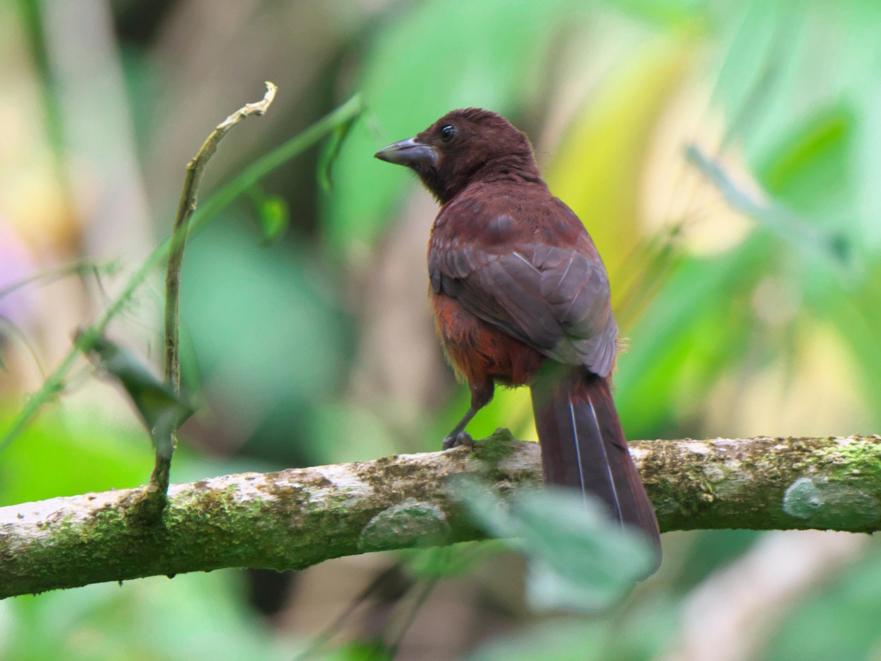 Silver-beaked Tanager - Paul Tavares
