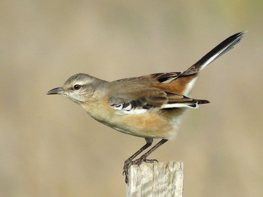White-banded Mockingbird - Adrian Antunez