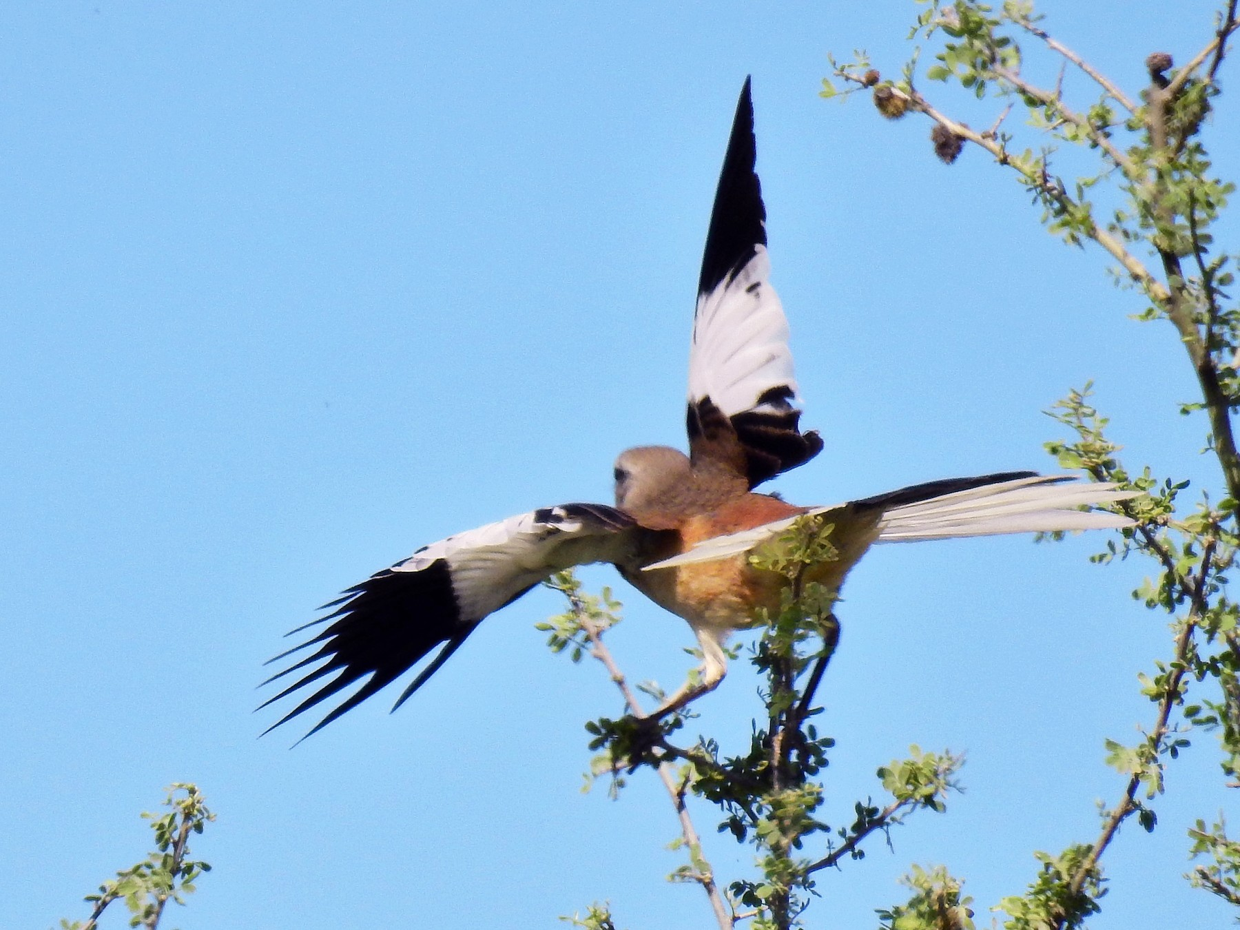 White-banded Mockingbird - Pablo Alejandro Pla