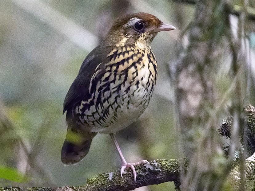 Short-tailed Antthrush - Marcelo Allende
