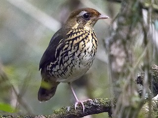 - Short-tailed Antthrush