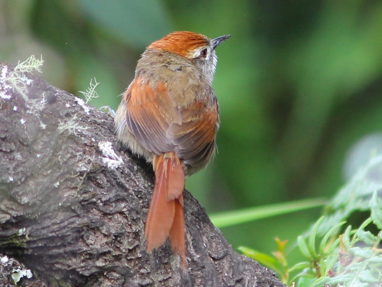 Sooty-fronted Spinetail - Oscar  Johnson