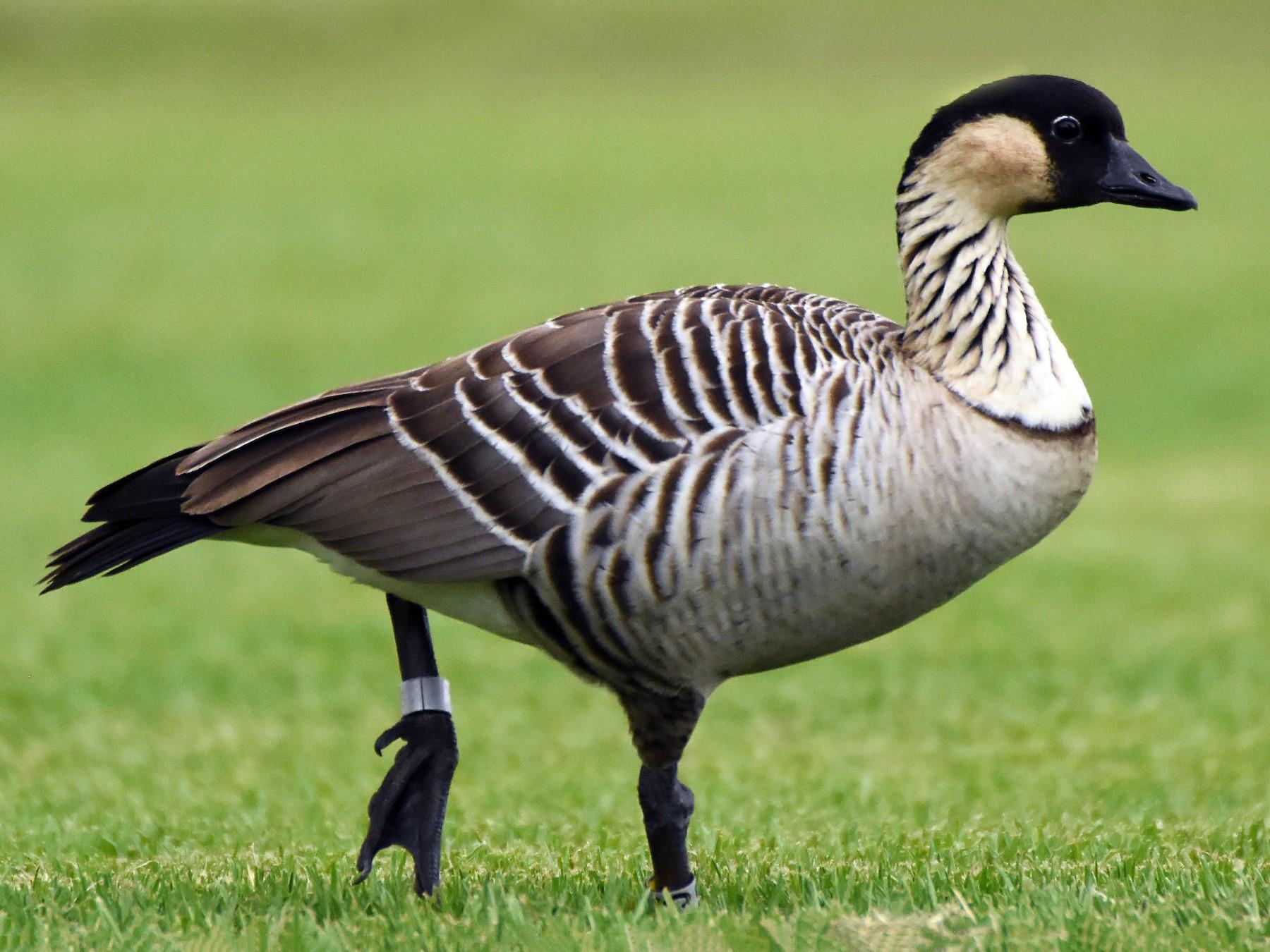 Hawaiian Goose - Steven Mlodinow