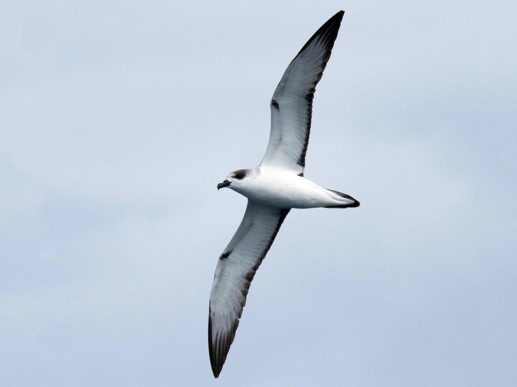 Juan Fernandez Petrel - Fernando Díaz  (Albatross Birding Chile)
