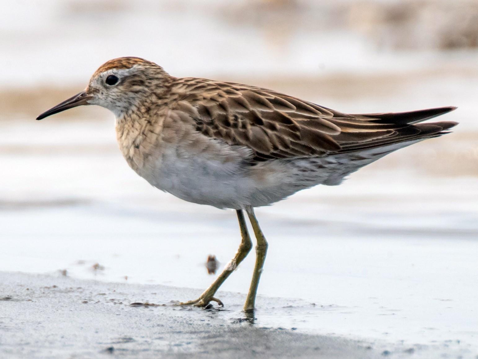 Sharp-tailed Sandpiper - Brendan Klick