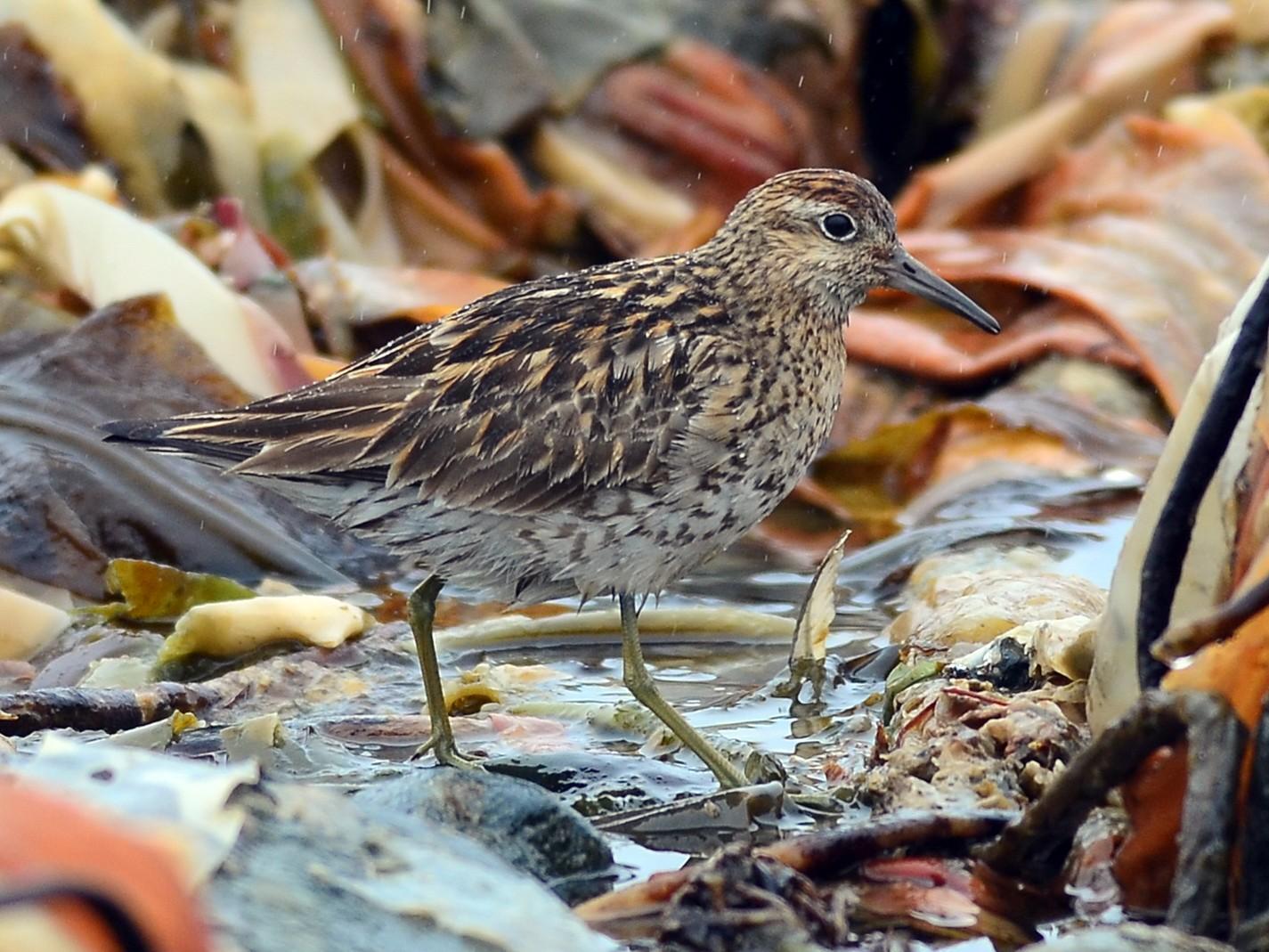 Sharp-tailed Sandpiper - Charlie Wright