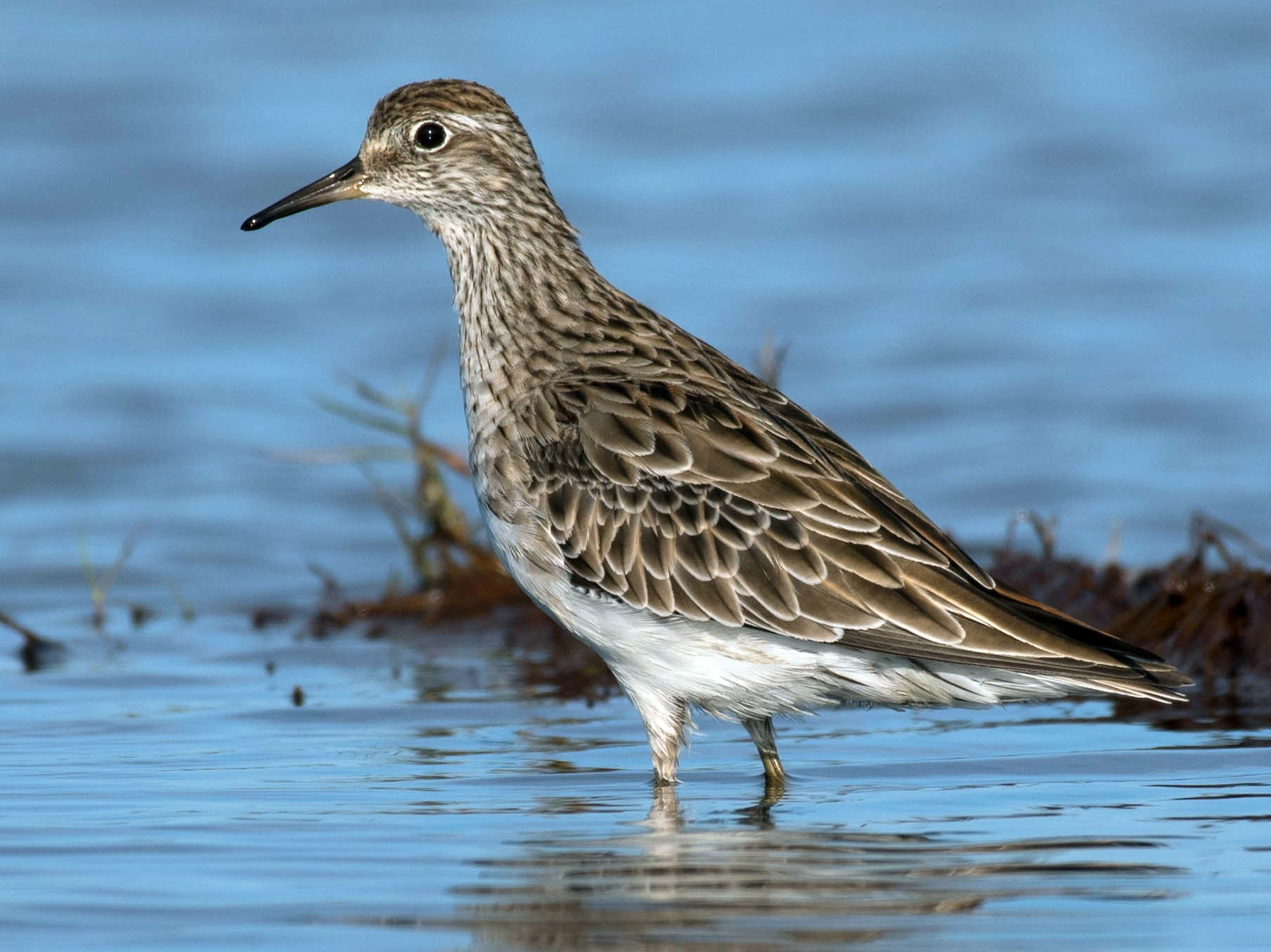 Sharp-tailed Sandpiper - Terence Alexander