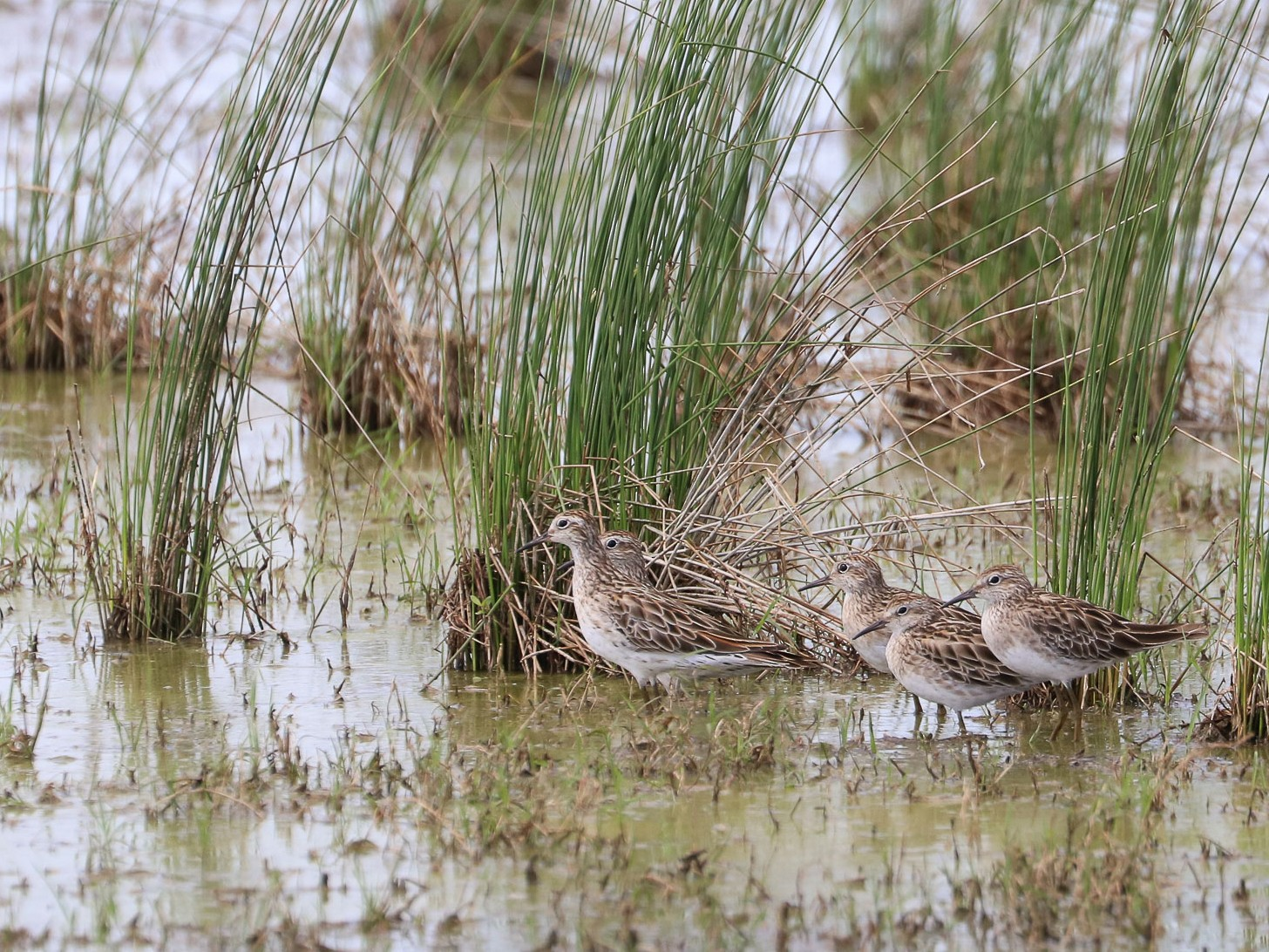 Sharp-tailed Sandpiper - Ged Tranter