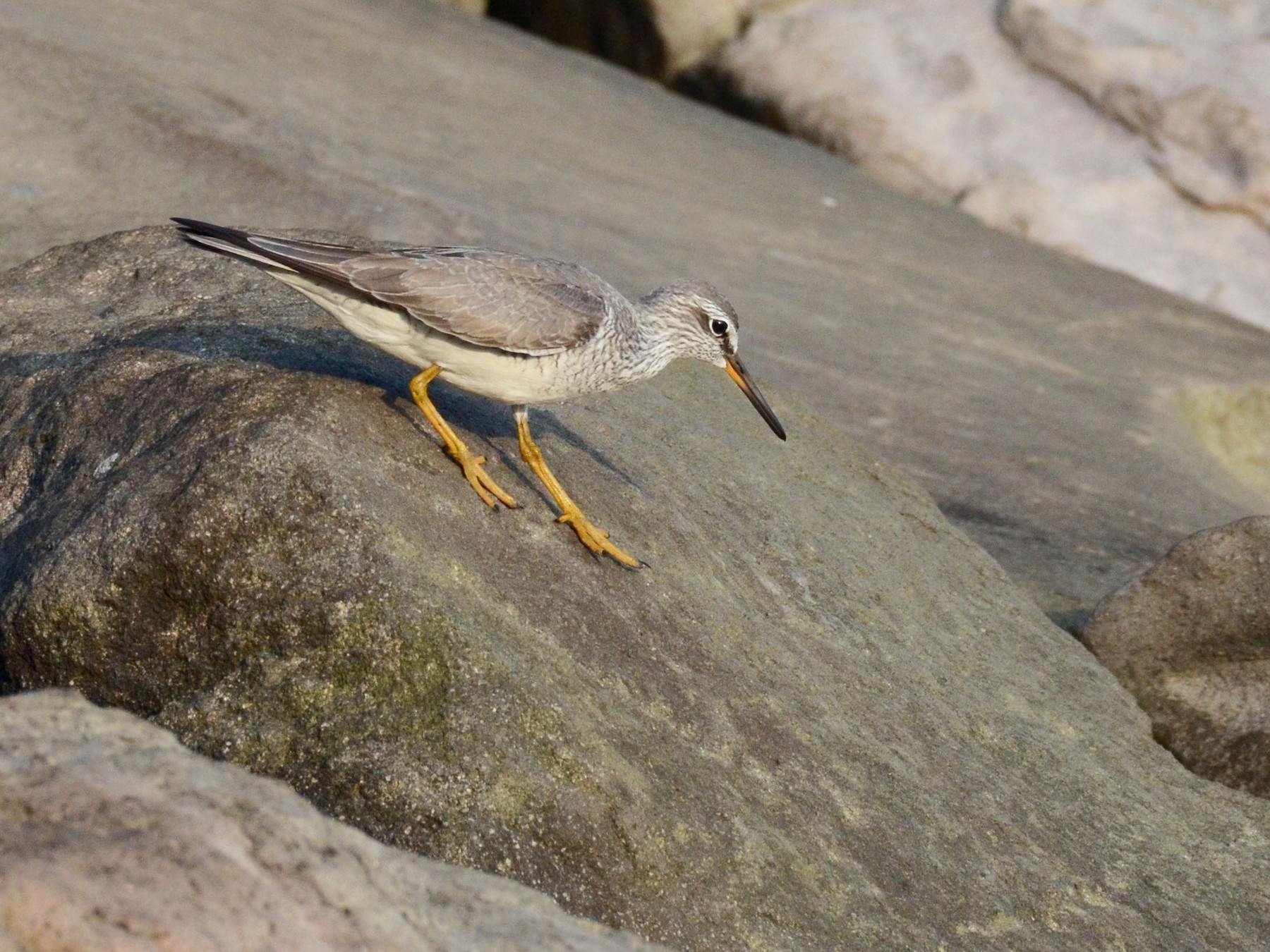 Gray-tailed Tattler - Timothy Spahr