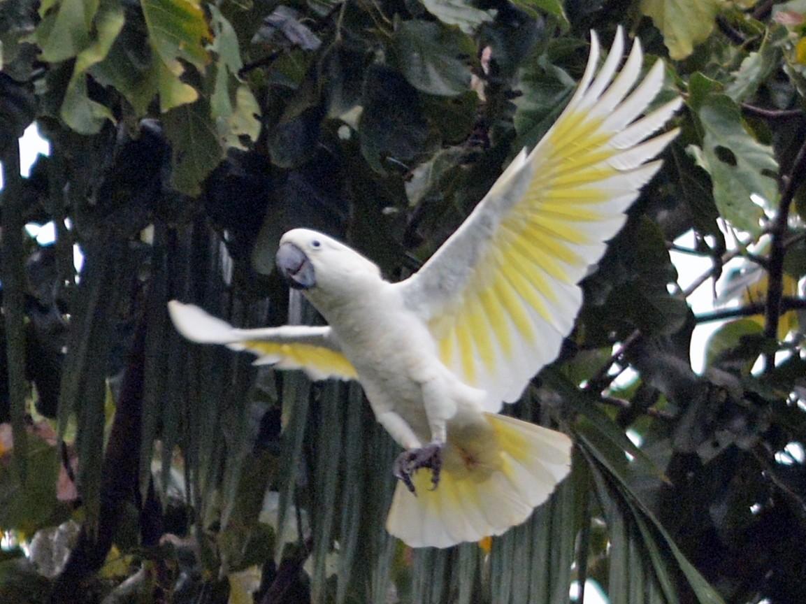 White Cockatoo - Cathy Pasterczyk