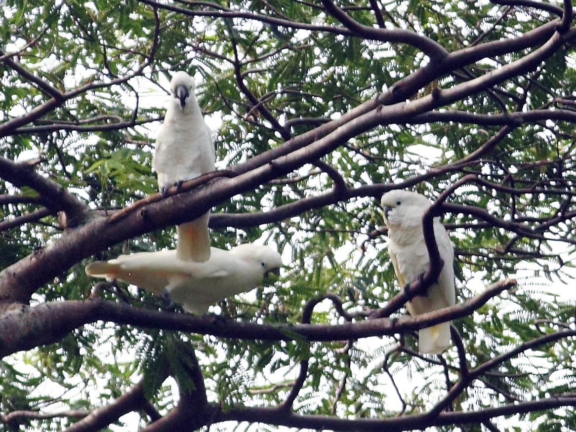 White Cockatoo - Anonymous eBirder