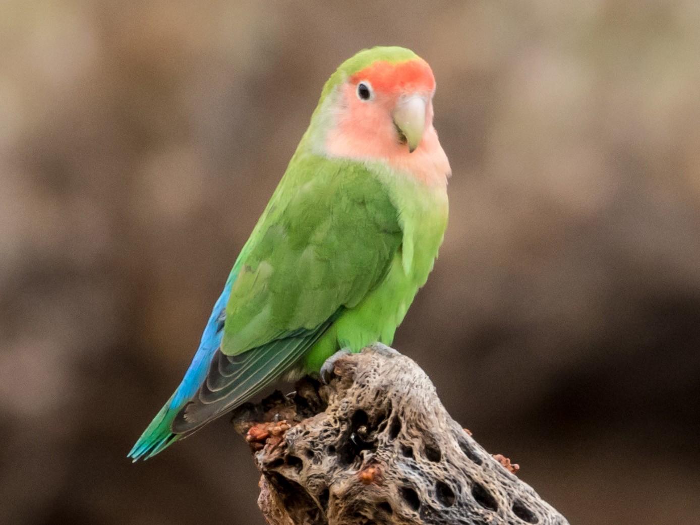 Rosy-faced Lovebird - Michael Warner