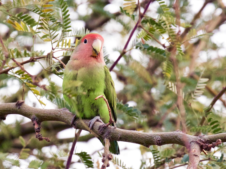 Rosy-faced Lovebird - Nick Dorian