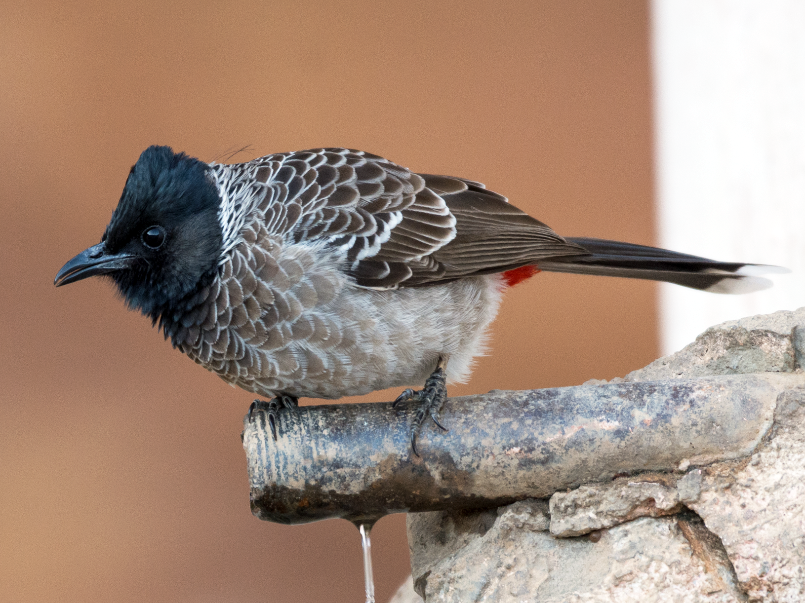 Red-vented Bulbul - Fareed Mohmed