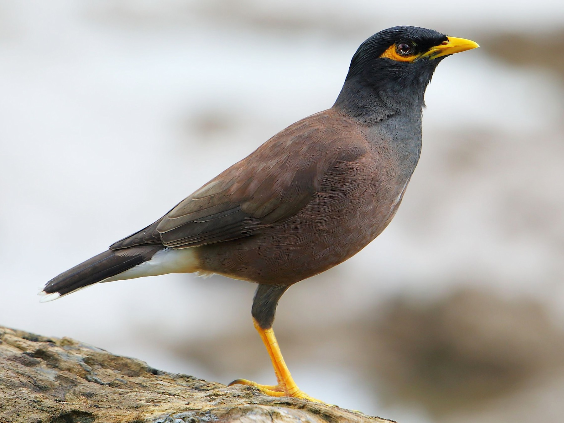 Common Myna - Albin Jacob