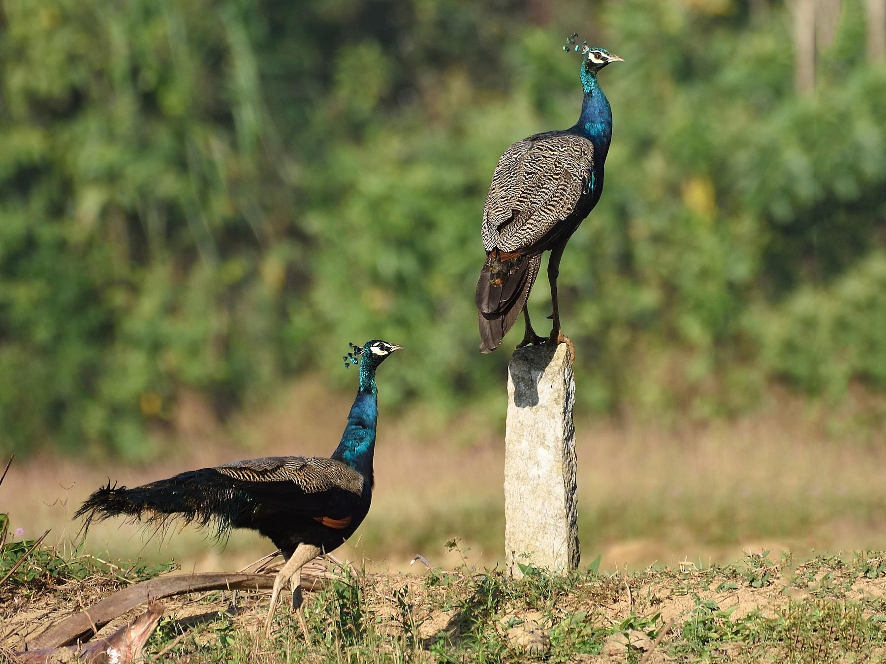 Indian Peafowl - Arun Prabhu