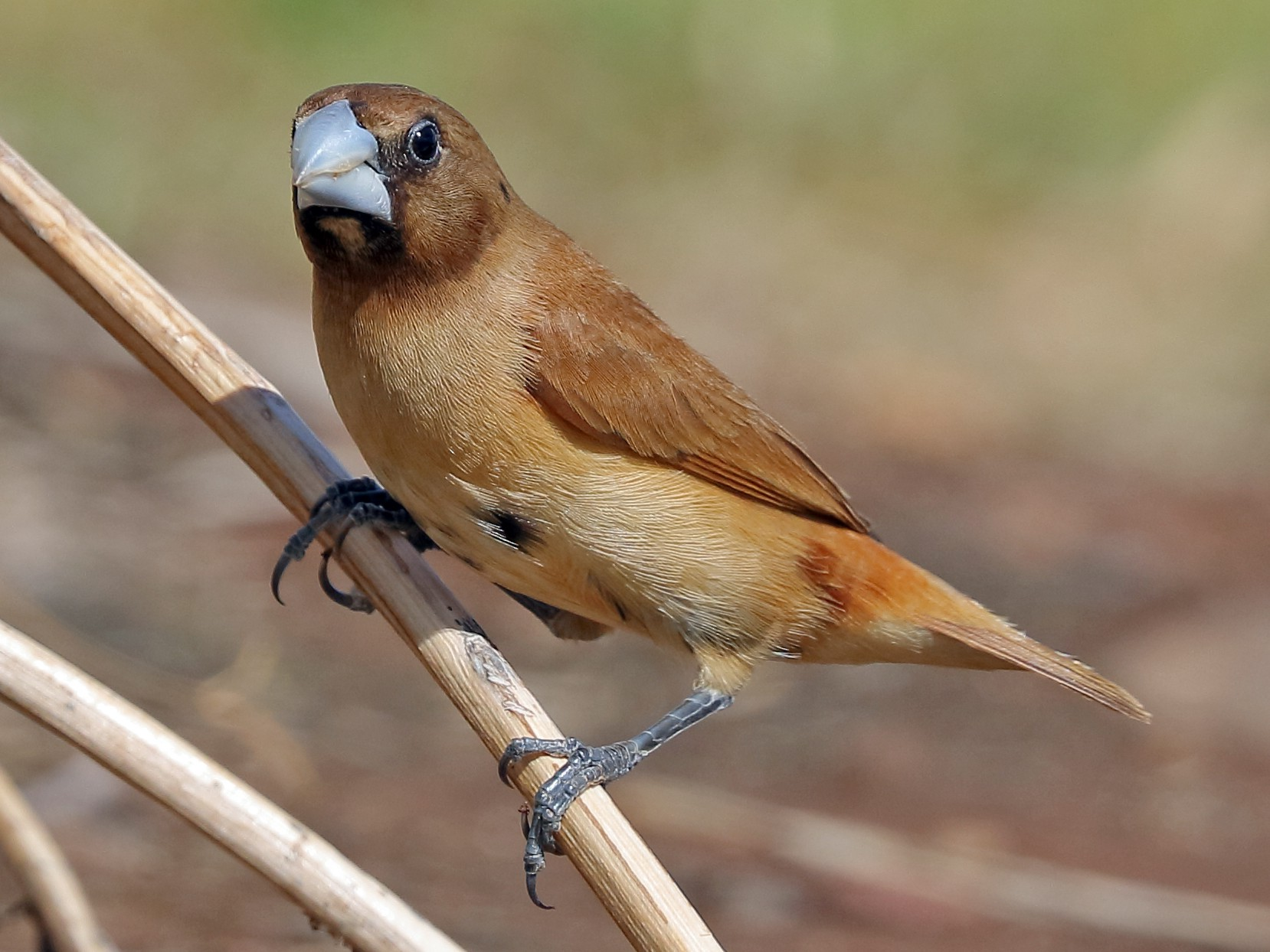 Chestnut Munia - Sharif Uddin