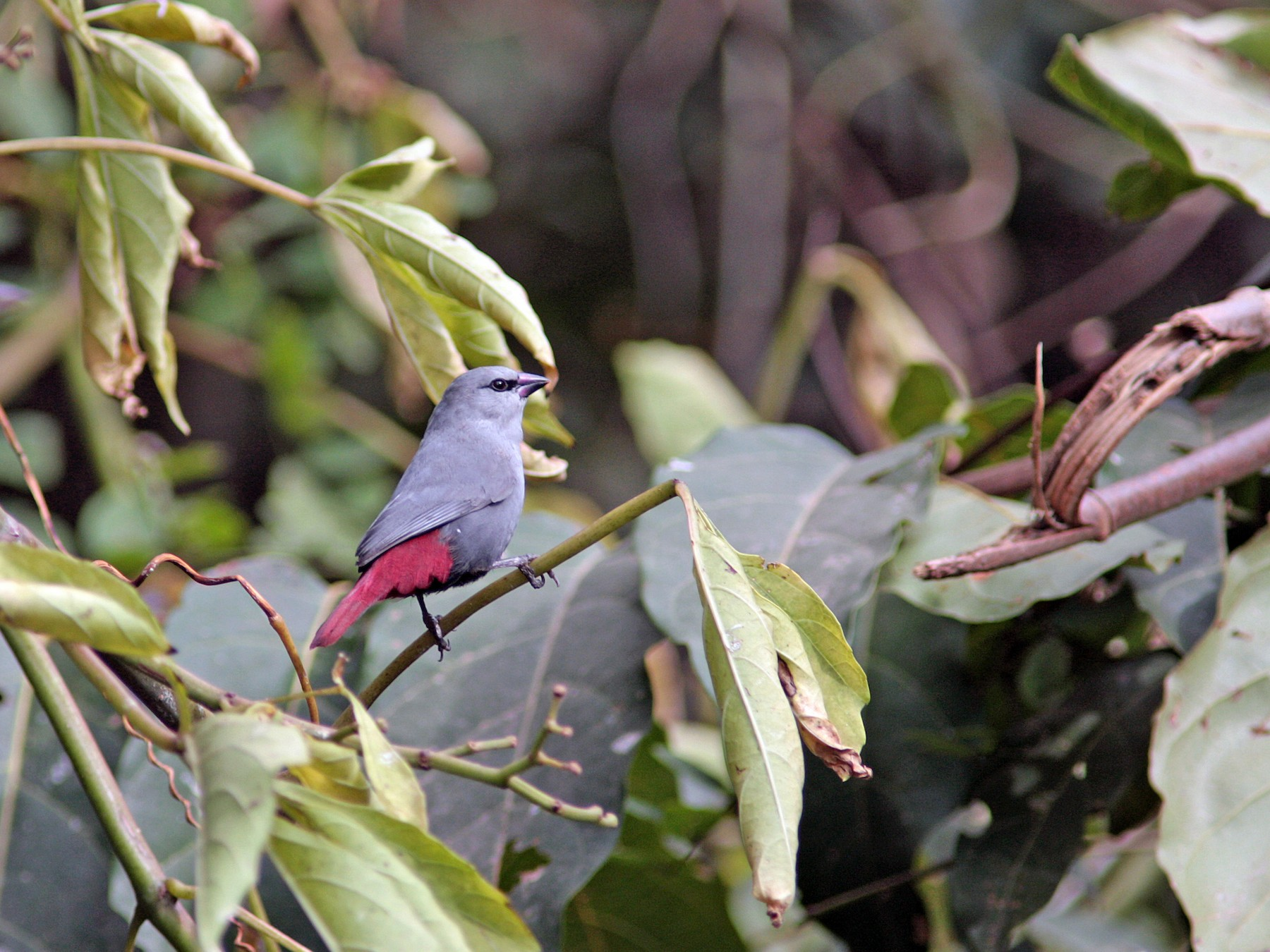 Lavender Waxbill - Ray Scally