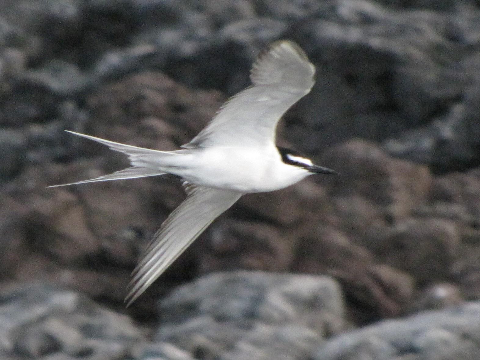 Gray-backed Tern - Diego Miranda Urbina