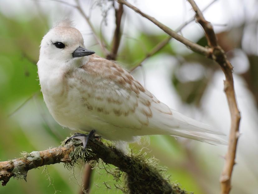 White Tern - Hedley & Irena Earl