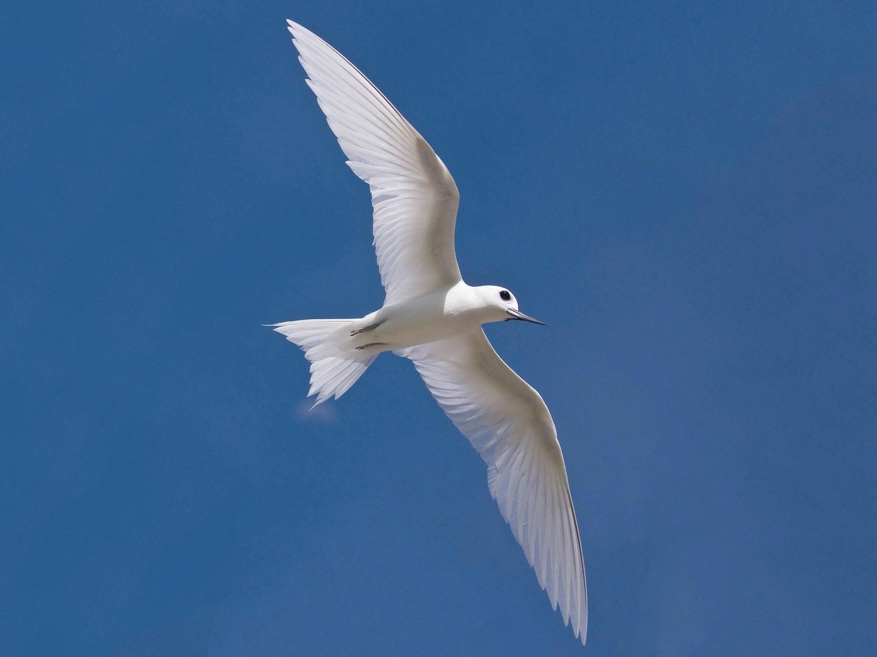White Tern - Eric VanderWerf
