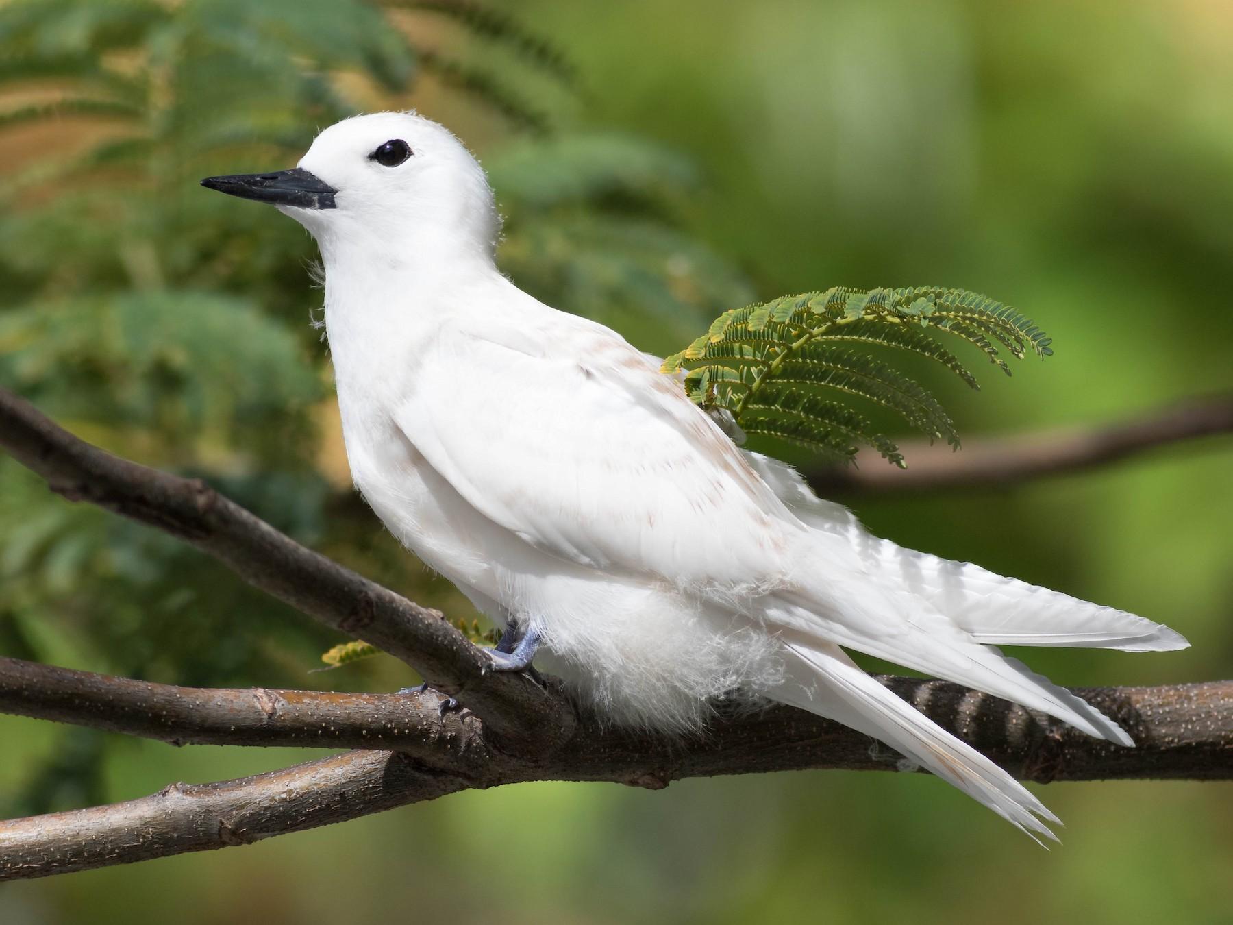 White Tern - Noah Frade