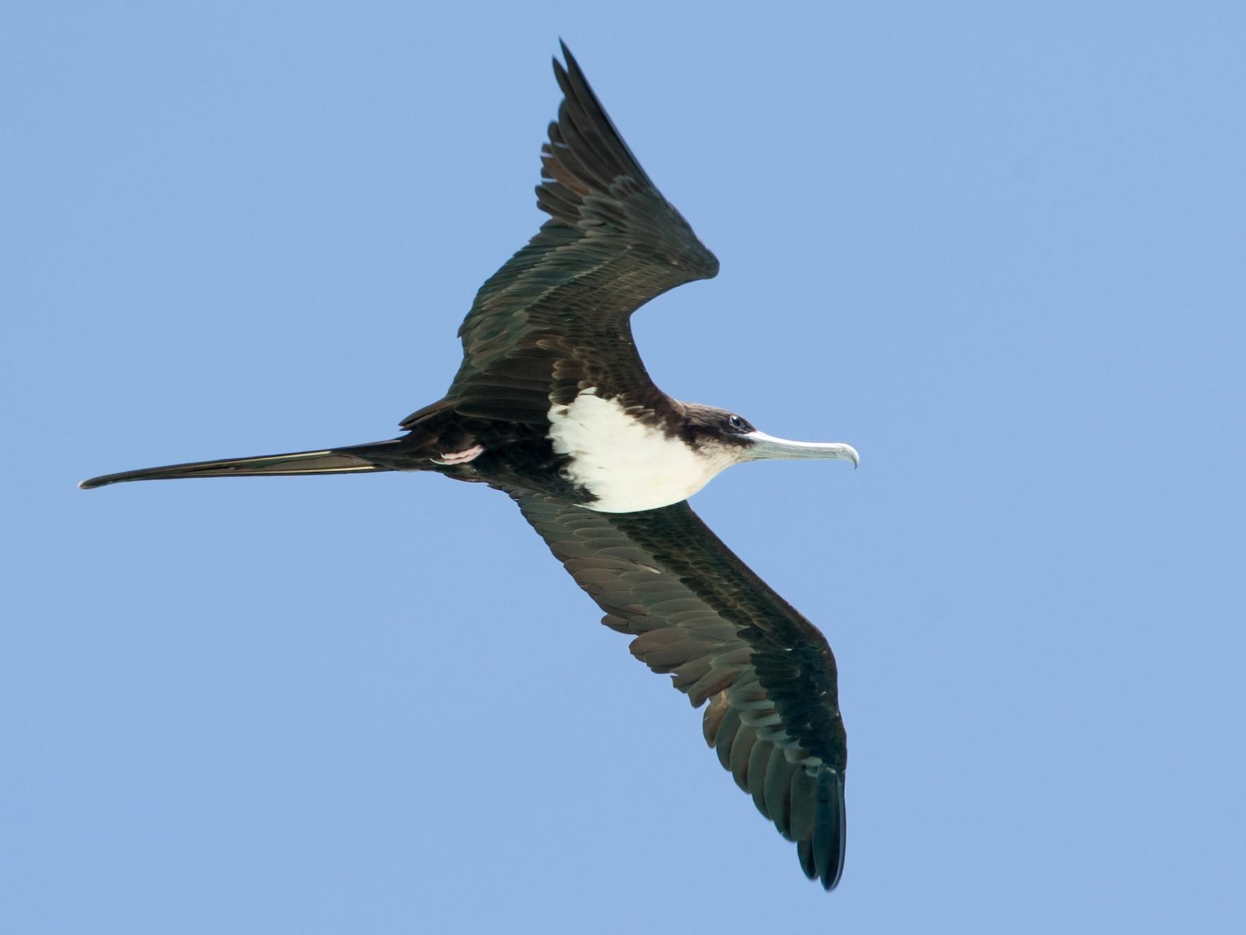Great Frigatebird - Ian Davies