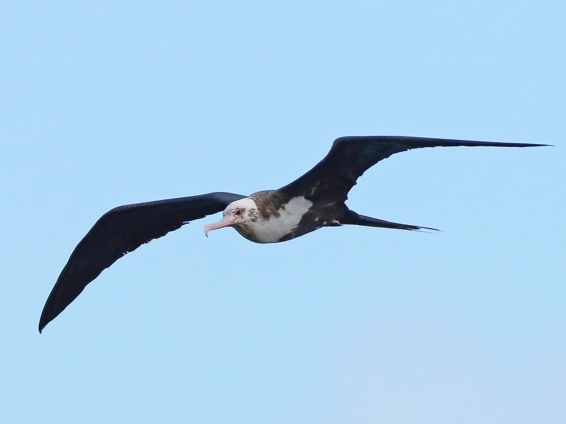 Great Frigatebird - Sharif Uddin