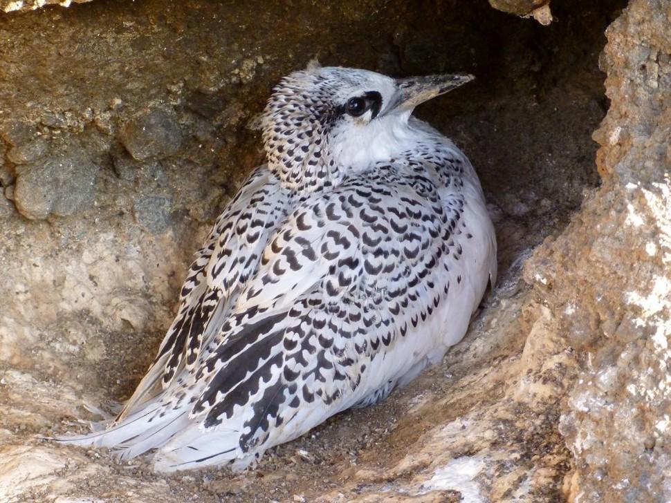 Red-tailed Tropicbird - Oscar  Johnson