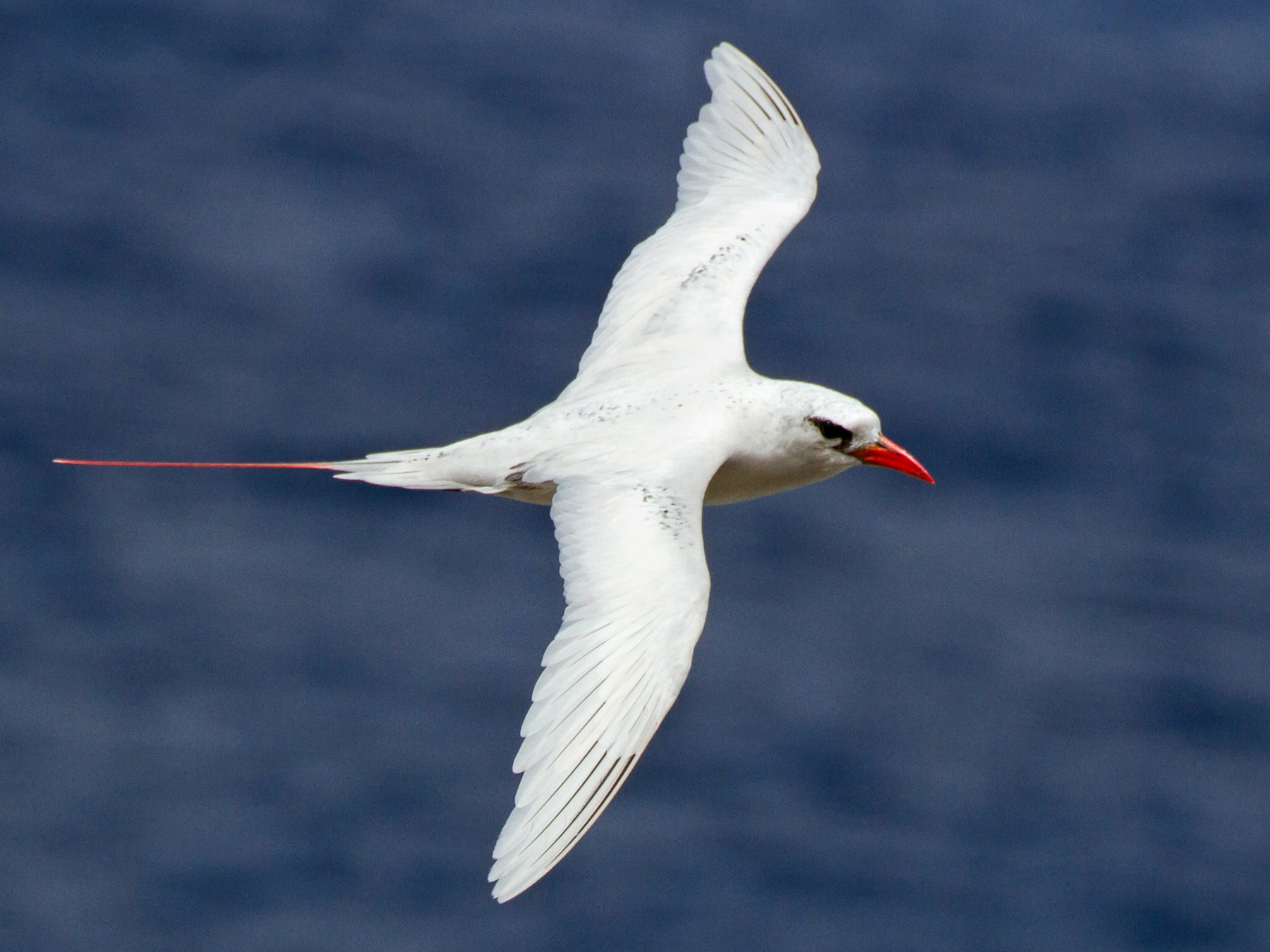 Red-tailed Tropicbird - Cullen Hanks