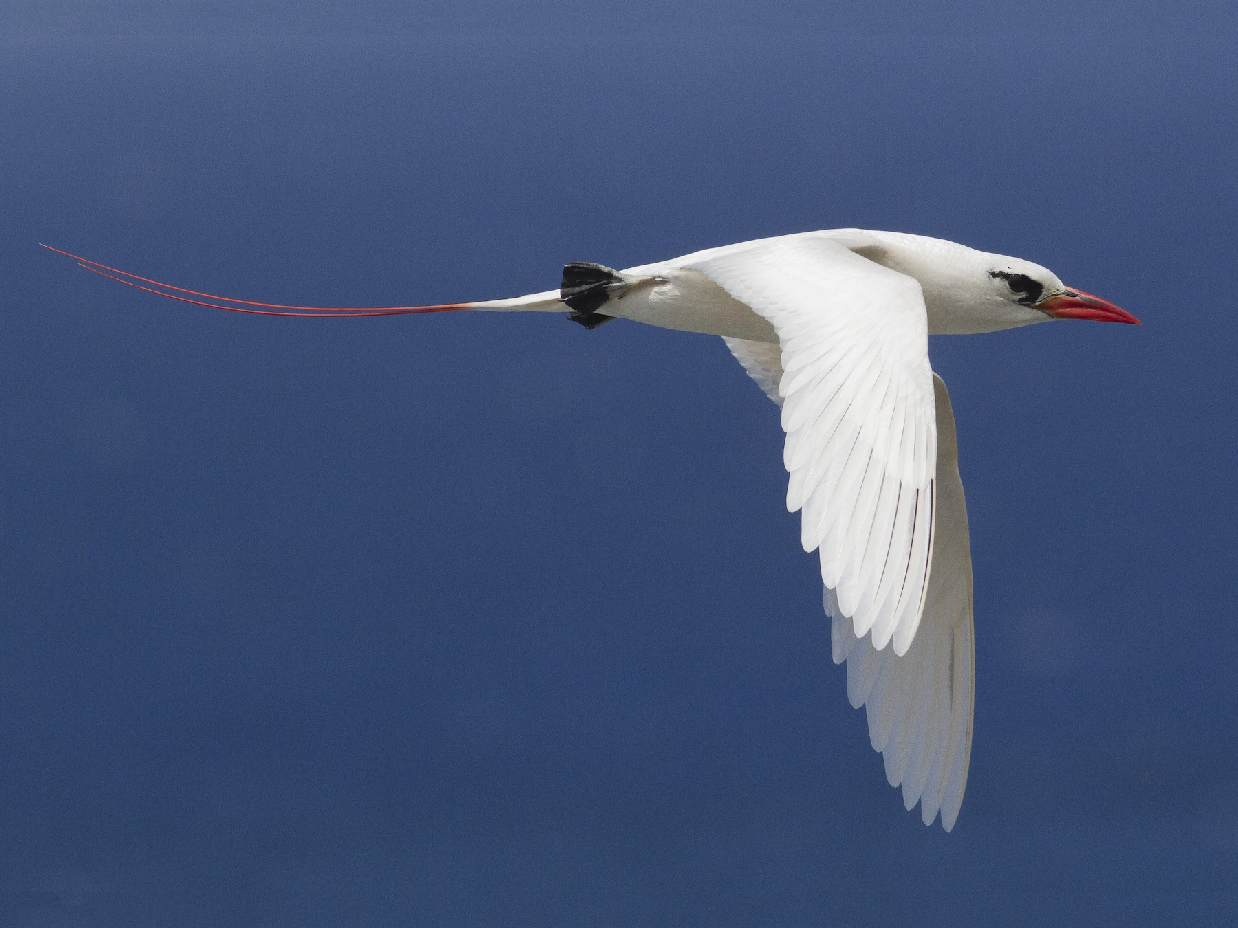 Red-tailed Tropicbird - Jacob Drucker