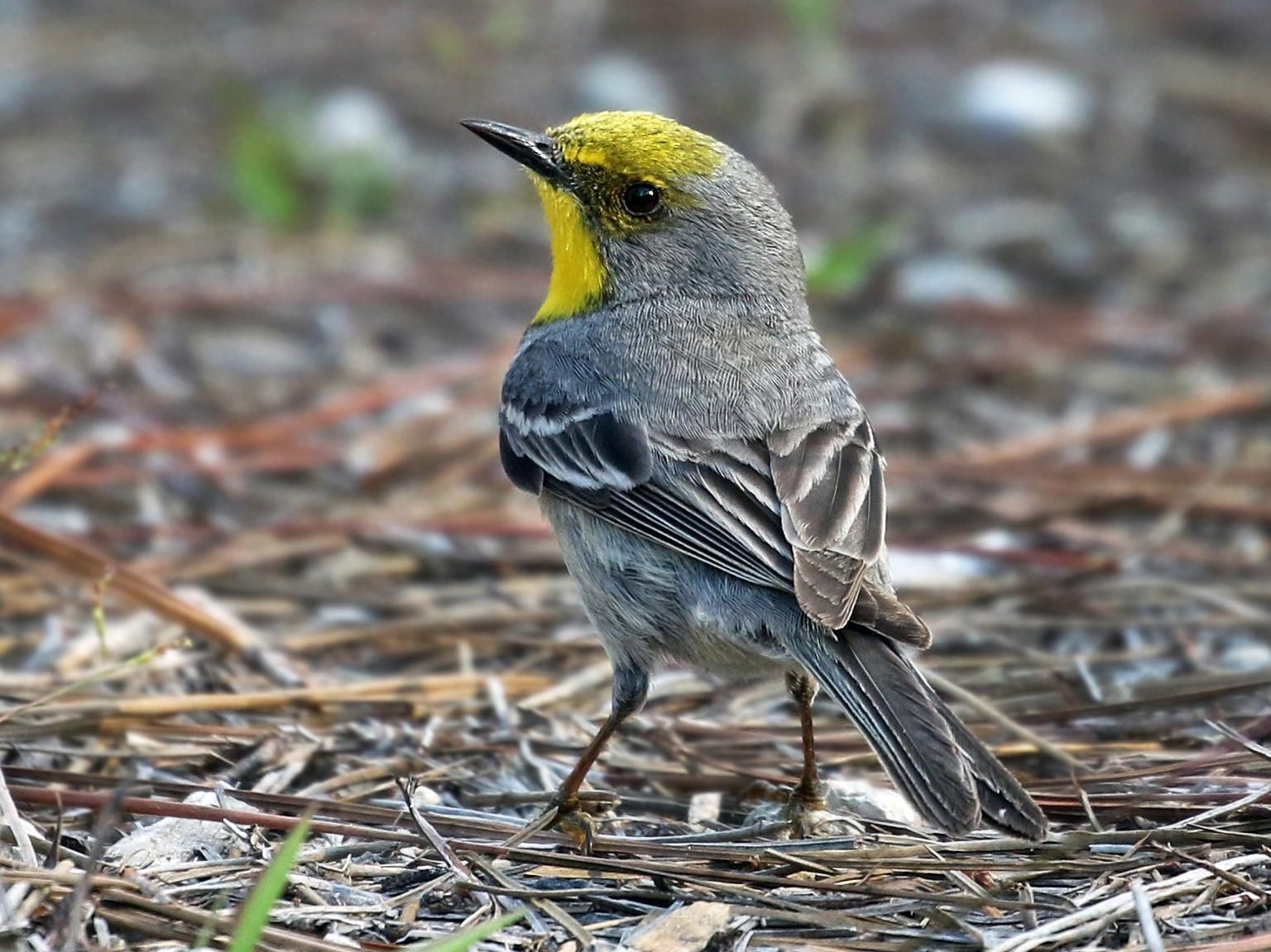 Olive-capped Warbler - Andrew Spencer