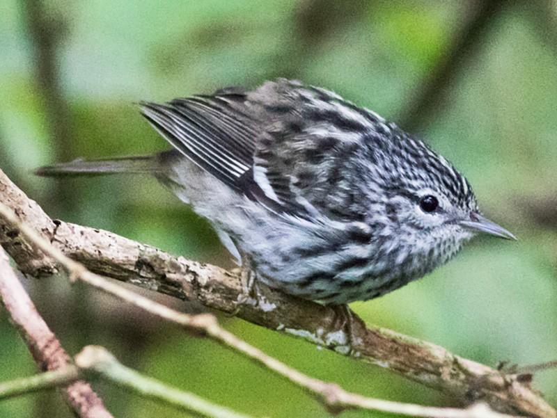 Arrowhead Warbler - Tom Johnson