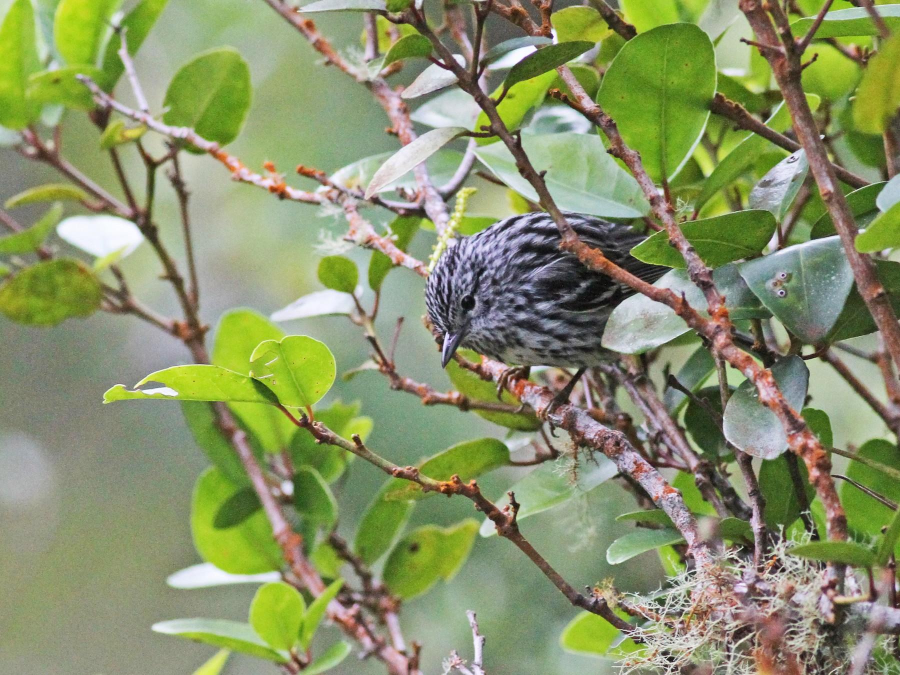Arrowhead Warbler - Michael McCloy