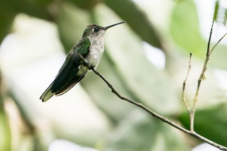 - Dry-forest Sabrewing