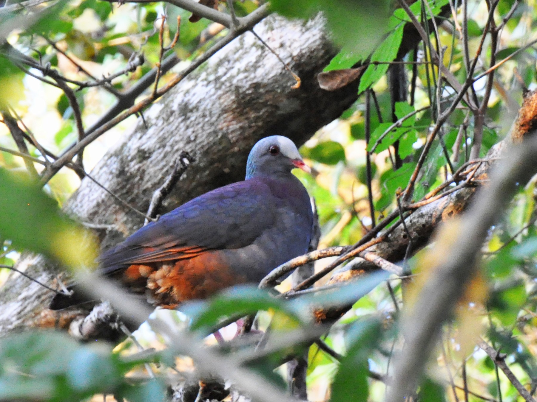 Gray-fronted Quail-Dove - James Thompson