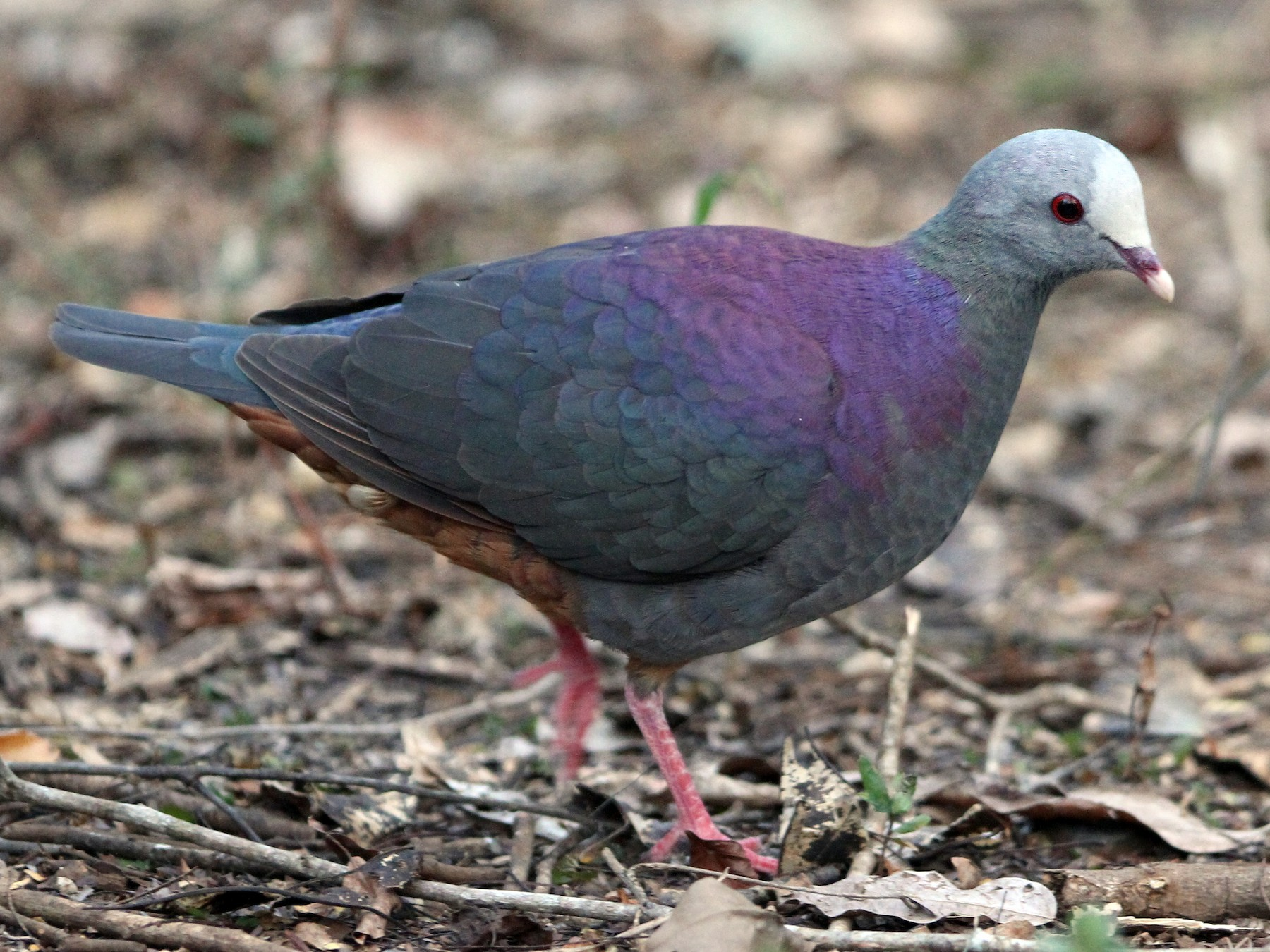 Gray-fronted Quail-Dove - Christoph Moning