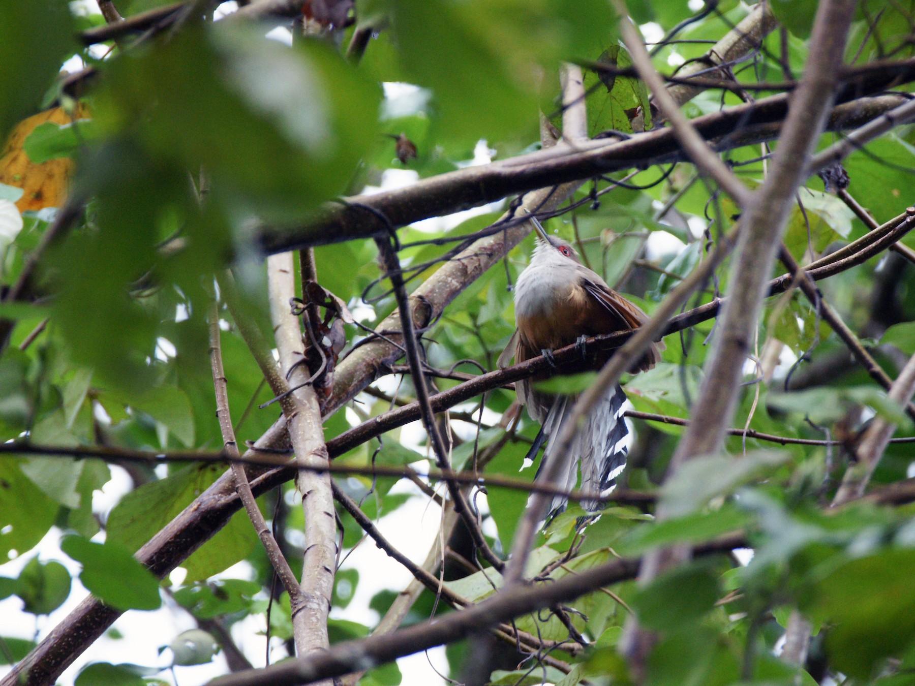 Puerto Rican Lizard-Cuckoo - Nancy Cox