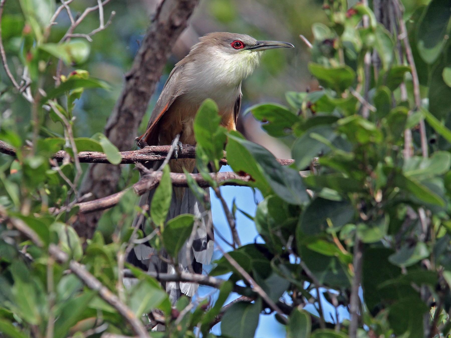 Great Lizard-Cuckoo - Christoph Moning