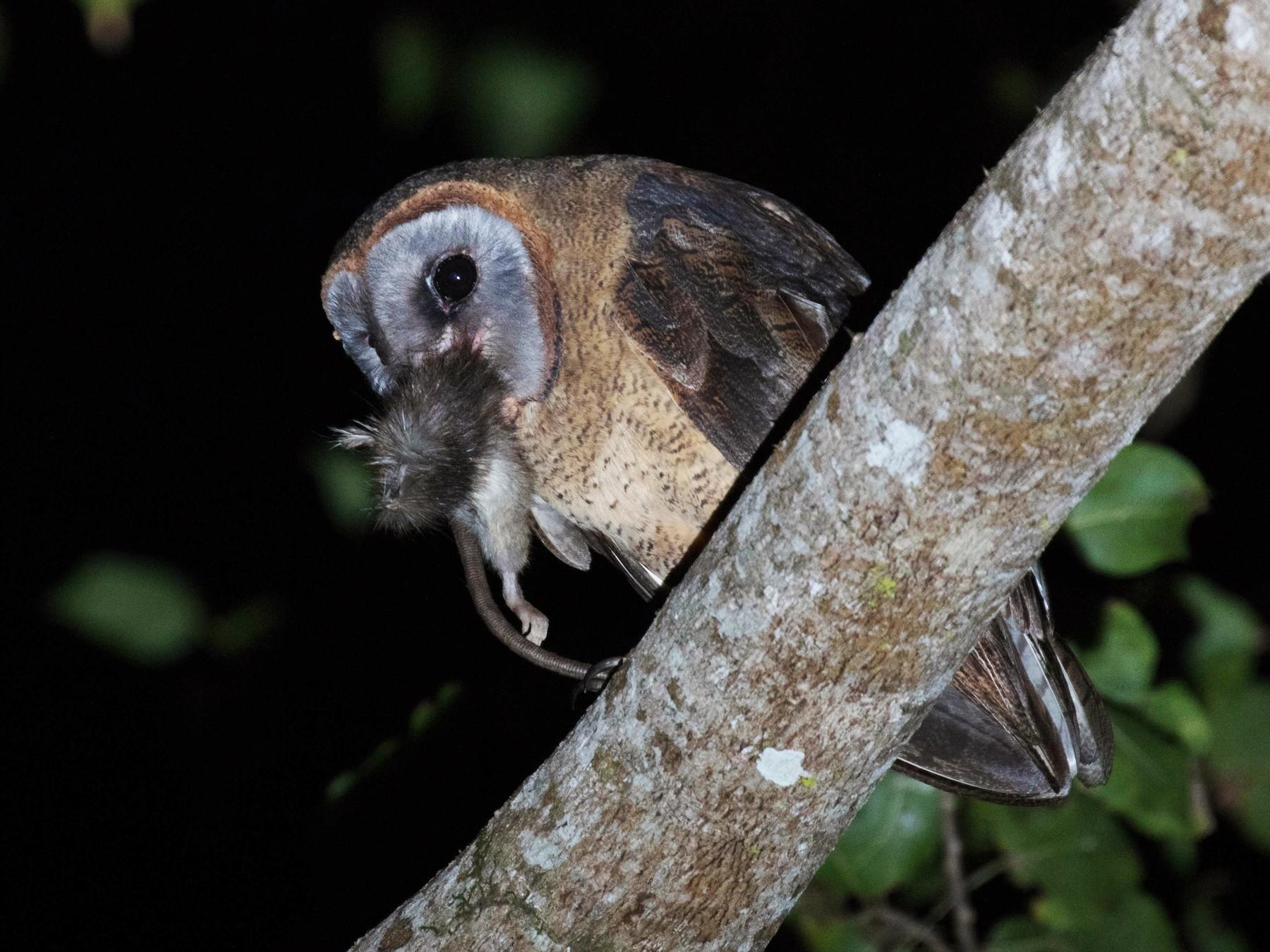 Ashy-faced Owl - Ross Gallardy