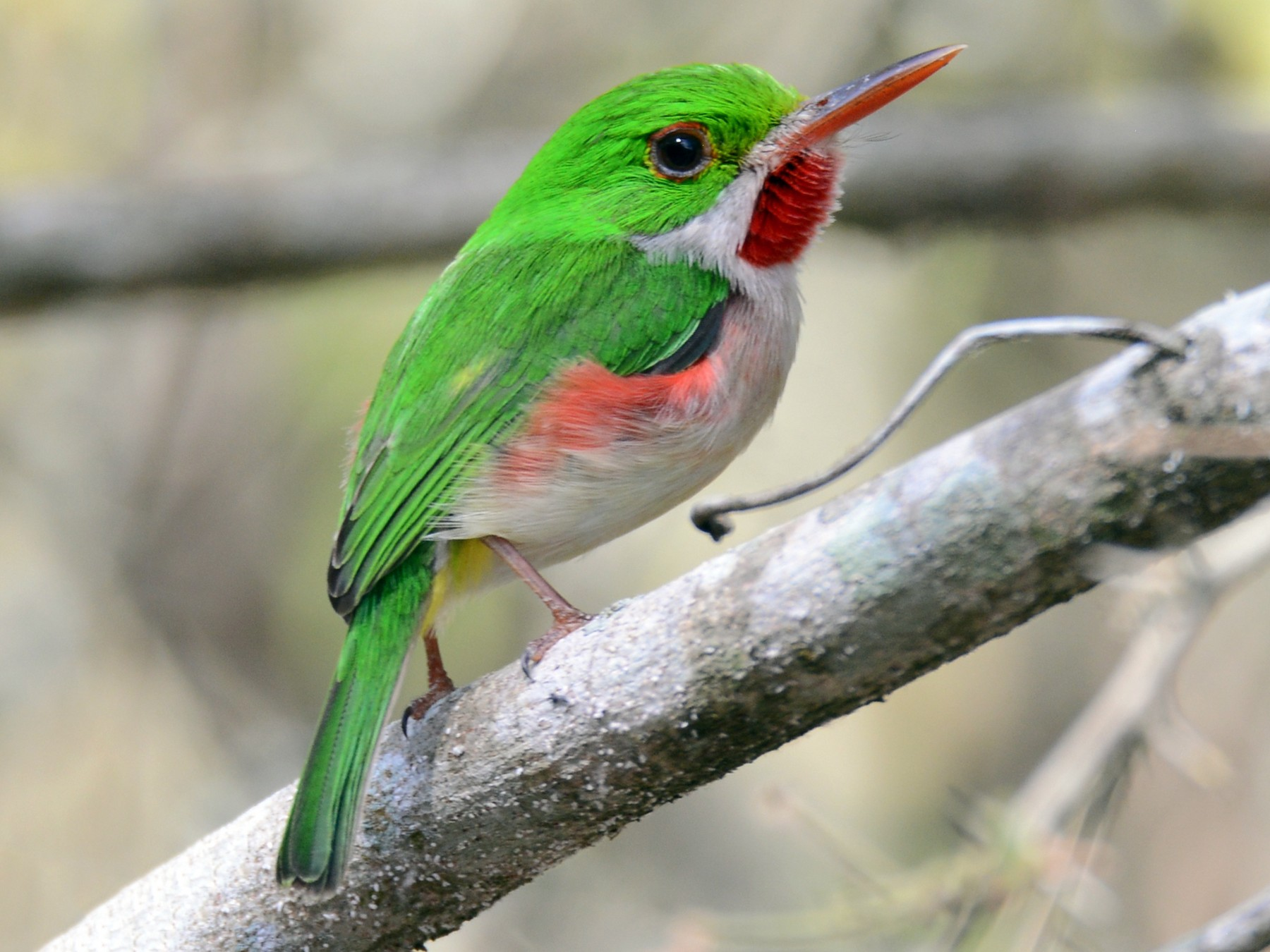 Broad-billed Tody - Alan Van Norman