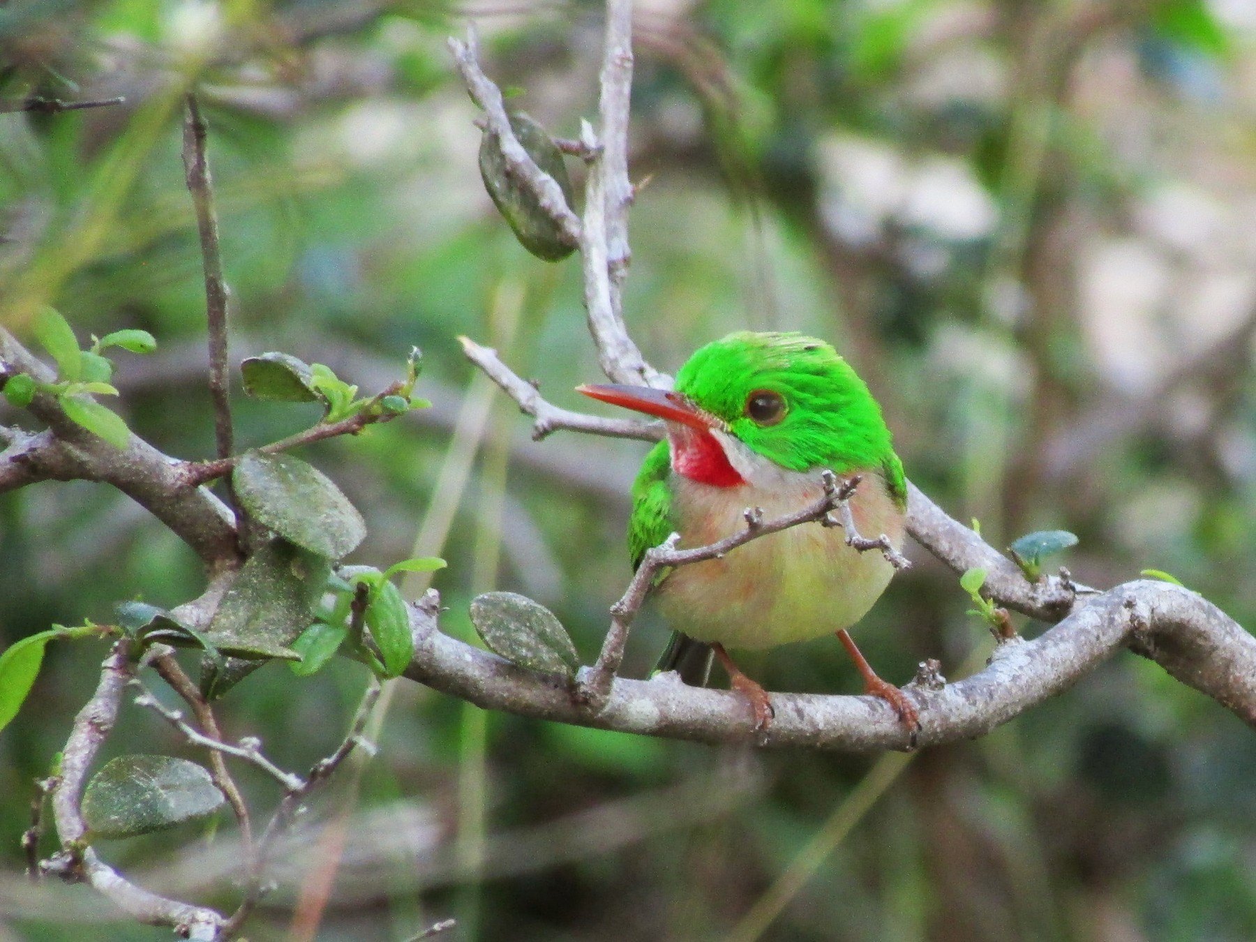 Broad-billed Tody - Sean Christensen