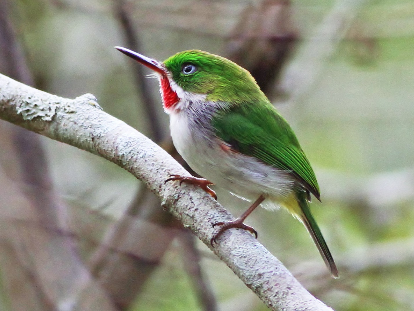 Narrow-billed Tody - Alex Lamoreaux