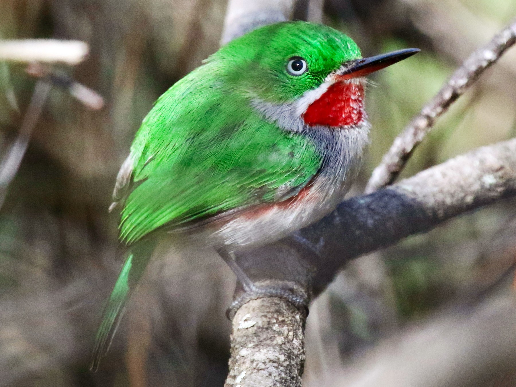 Narrow-billed Tody - Gil Ewing