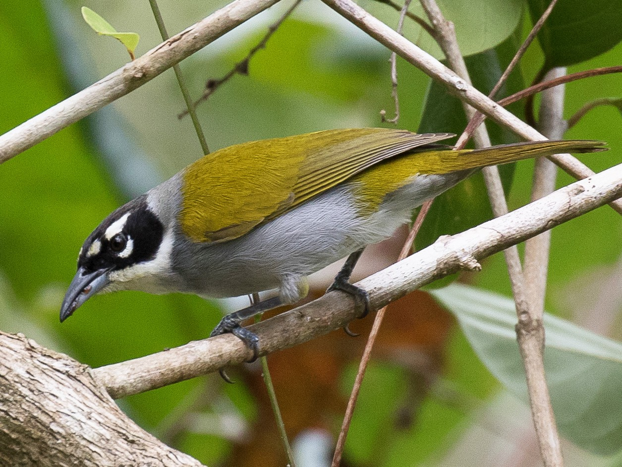 Black-crowned Palm-Tanager - Simon Best