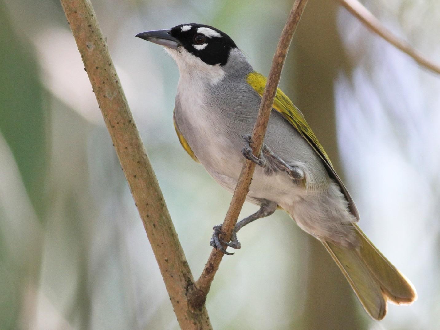 Black-crowned Palm-Tanager - Ian Davies