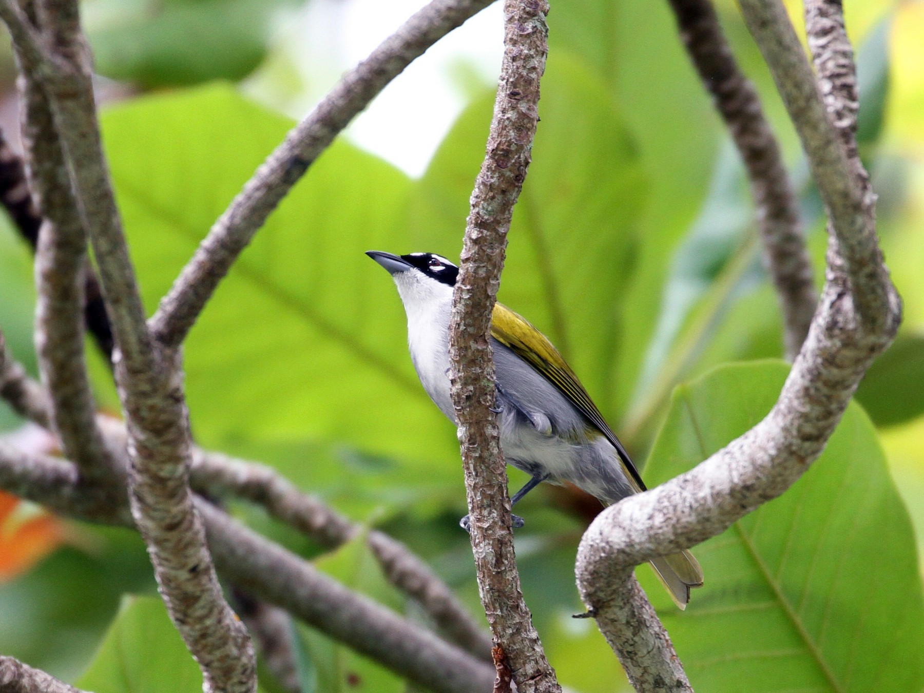 Black-crowned Palm-Tanager - Don Coons