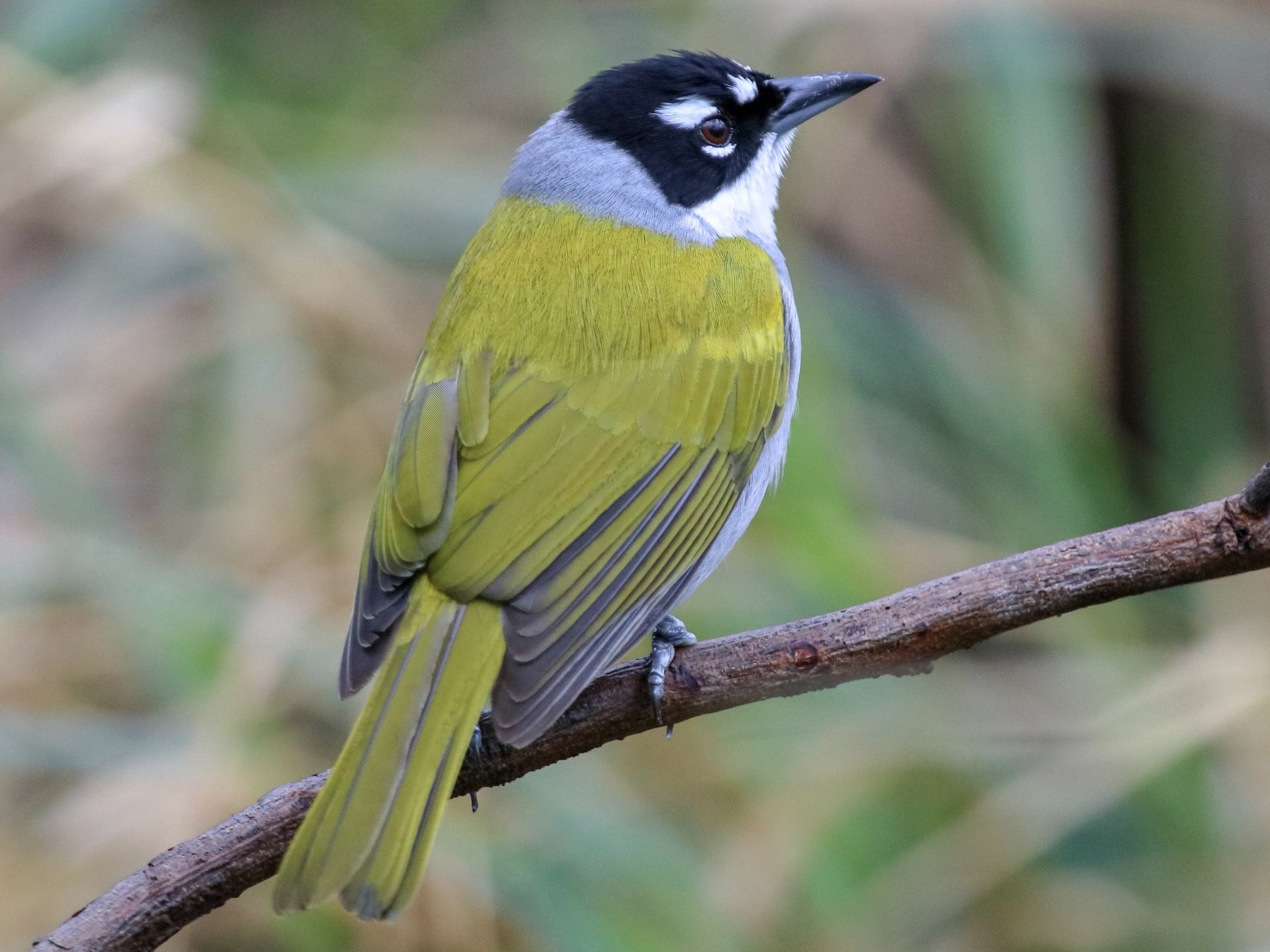 Black-crowned Palm-Tanager - Graham Williams