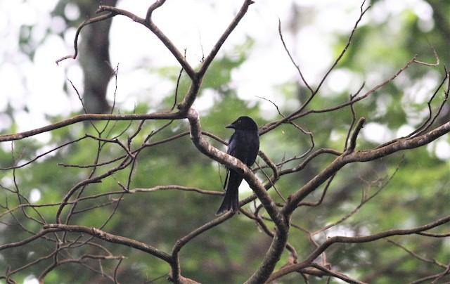 Velvet-mantled Drongo